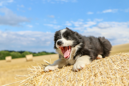 A cute puppy is lying on the hay bale and yawning, looking like it is smiling.