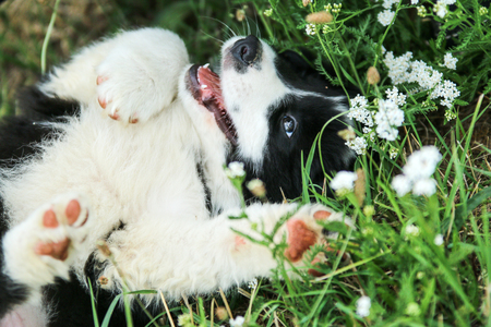 A cute puppy is lying in the grass on the field. Looking happy and satisfied. Like it is smiling.