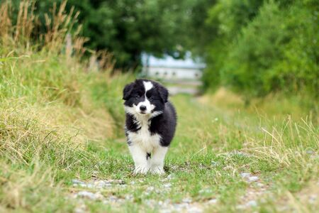 A portrait picture of a cute puppy of Border Collie. He is ooking happy and satisfied. Like it is smiling.