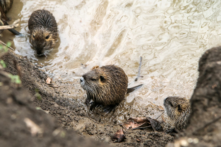 A picture of the coypus in Prague in Czech Republic. They live in water in the city and they are a problem for the ekosystem.