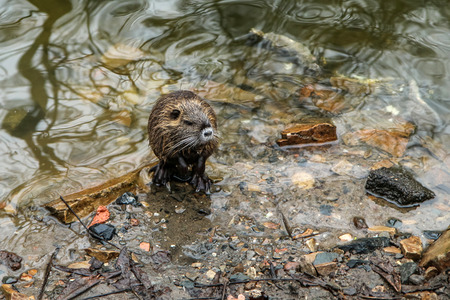 A picture of the coypus in Prague in Czech Republic. They live in water in the city and they are a problem for the ekosystem. Banco de Imagens - 124951637