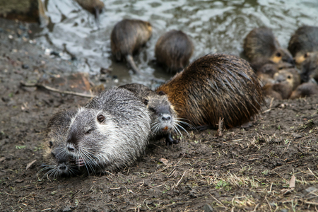 A picture of the coypus in Prague in Czech Republic. They live in water in the city and they are a problem for the ekosystem. Banco de Imagens - 124955472