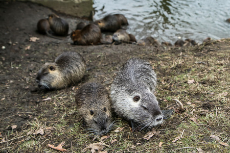 A picture of the coypus in Prague in Czech Republic. They live in water in the city and they are a problem for the ekosystem. Banco de Imagens - 124955476