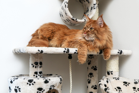 A cute Maine Coon cat is lying on the play house and is relaxing. Archivio Fotografico