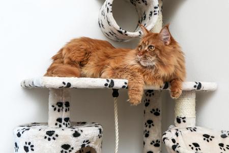 Un simpatico gatto Maine Coon è sdraiato sulla casetta e si sta rilassando.