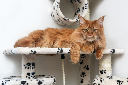 A cute Maine Coon cat is lying on the play house and is relaxing.