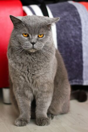 The sittying british cat is looking focused on you. Archivio Fotografico - 134415218