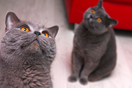 Two british cats are looking up and are looking quite stupid.