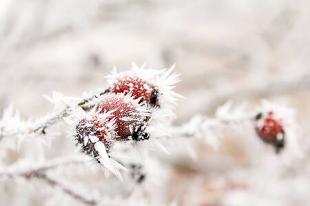 A detail picture of the frozen branch with briers. Stock Photo