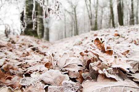 A detail picture of frozen oak leaf lying on the ground.