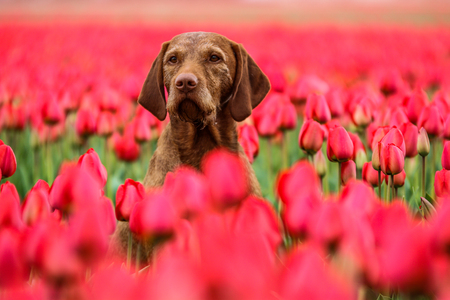 A picture from the amazing tulip fields in Netherlands during the cloudy, rainy spring day. The colorful flowers are everywhere.  The dog is sitting in the field and enjoying the view. Stok Fotoğraf