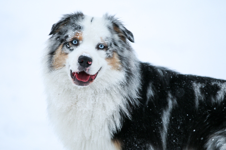 The portrait of a cute australian shepherd during winter.