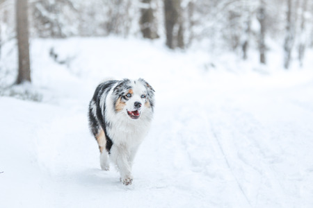 A picture of running australian shepherd during winter. He really enjoys this. Stok Fotoğraf
