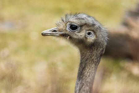 A detail picture of the ostrich´s head. Looking interesting and a bit dull.