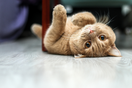 A cute tabby cat is relaxing and is very adorable.