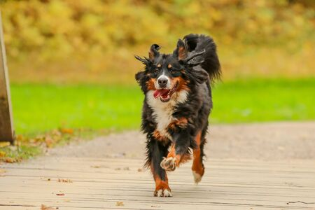 A picture of the happy adult Bernese Mountain Dog, running on the wooden bridge.