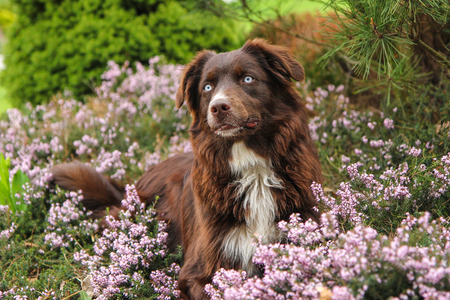 A young adult Australian shepherd is lying in the heather and looking happy and satisfied. Like he is laughing.