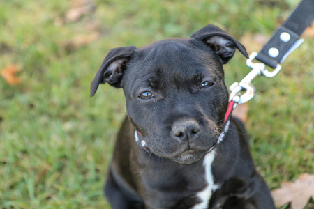 A portrait picture of a  cute puppy of the American Staffordshire Terrier.