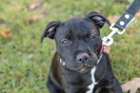 Una foto ritratto di un simpatico cucciolo di American Staffordshire Terrier. Archivio Fotografico