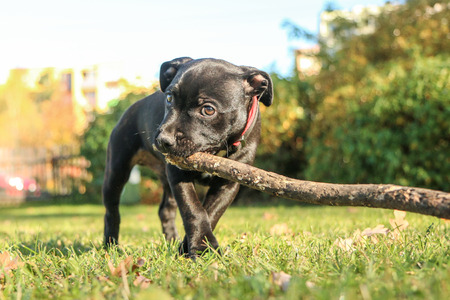 A portrait picture of a  cute puppy of the American Staffordshire Terrier. He´s holding the branch in his mouth.