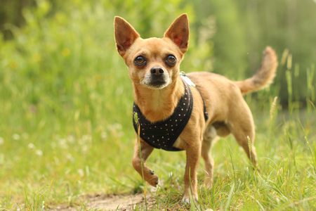 A portrait picture of the chihuahua dog during the walk in the nature. Stok Fotoğraf