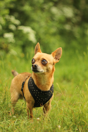A portrait picture of the chihuahua dog during the walk in the nature. Фото со стока