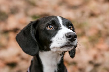 A portrait picture of a cute young crossbreed puppy.