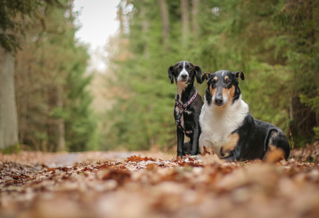A portrait picture of the nice colored short haired collie and a cute black crossbreed.