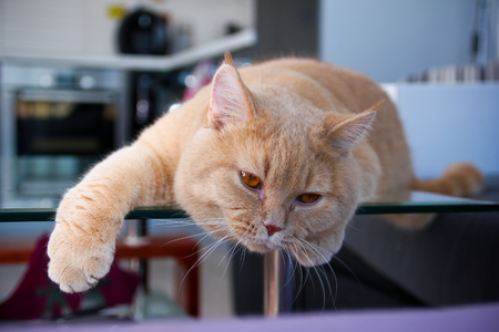 A lazy red haired tabby tomcat is lying on the table and is quite relaxed. He enjoys it very much. Archivio Fotografico