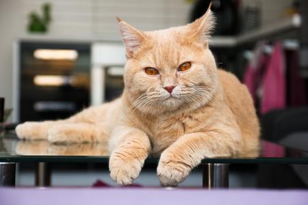 Un gatto è sdraiato sul tavolo di vetro ed è assonnato e pensieroso.