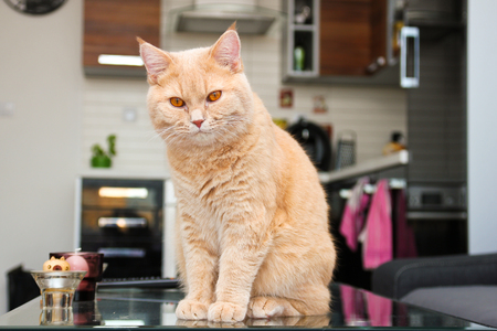 A lazy red haired tabby tomcat is sitting on the table and is quite relaxed. He enjoys it very much. Archivio Fotografico