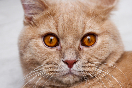 A cat is looking hypnotic at you. A detail of a cute tabby cat´s face.