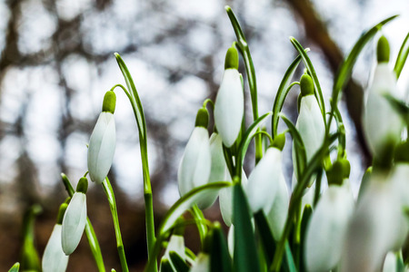 Picture of a spring symbol, fresh green snowdrops with white blooms.
