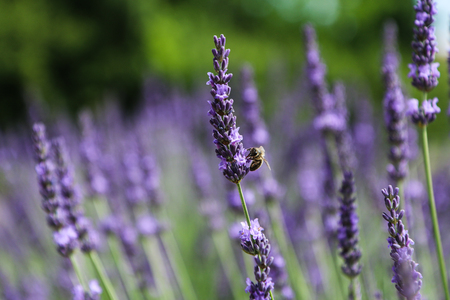 A picture from the beautiful fields of Provance during the summer and full of lavender in bloom.