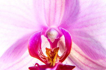 A detailed view of the nice and colorful pink orchid blossom.