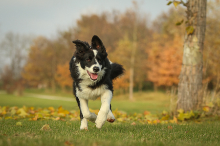 A picture of a young border collie puppy running on the autumn meadow between the fallen leaves. He enjoys the nature and is happy to be outside. 版權商用圖片 - 121471845