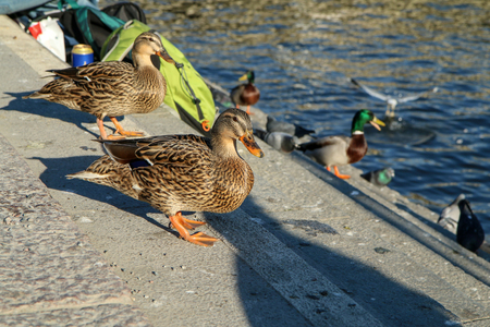 The tamed wild ducks are walking on the riverside in Stockholm among the people and looking for something to eat. They are fearless and the people are feeding them. Фото со стока