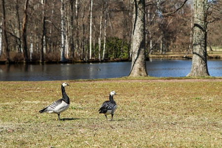 Two Canada gooses standing on the grass in a park and looking curious. But calm, while eating the grass. Banco de Imagens