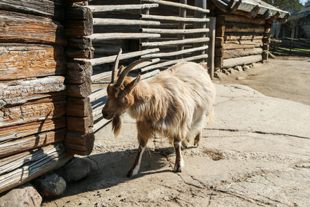 The nice and cute goat is stanging by its house and posing.