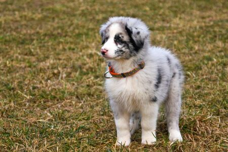 The cute young puppy of the Australian shepherd is posing on the dry grass during the walk. He enjoys to be outside, looking like smiling. Archivio Fotografico