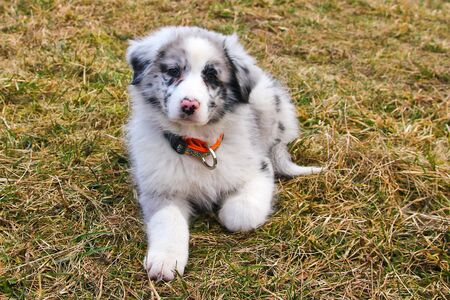 The cute young puppy of the Australian shepherd is posing on the dry grass during the walk. He enjoys to be outside, looking like smiling.