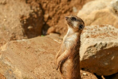 The portrait Picture of a cute meercat standing on rocks and observing the surroundings. Stock Photo