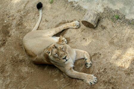 Il ritratto del leone nel giardino zoologico. Guardando calmo e rilassato.