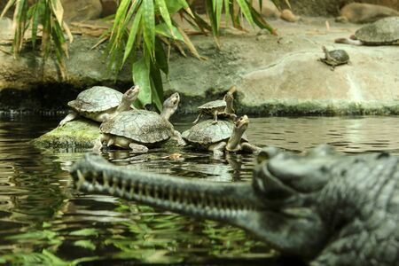 Several water turtles are standing on the stone and also on each other and are watching the gavial standing in front of them. Фото со стока