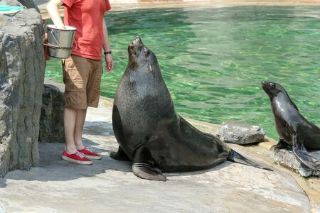 The guy is playing with the sea lions during the exhibition in the zoo. He is feeding them or checking their health.