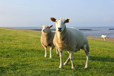 A sheep is looking at you and weeing .