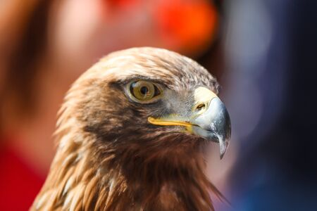 A detail picture of the eagle´s head. It is a nice and majestic bird. Looks quite happy and satisfied.