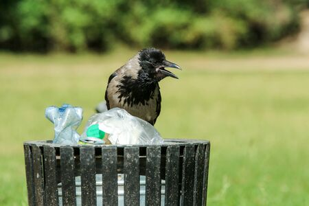A picture of a hungry crow eating garbage from a trash bin and doing mess in the public park.