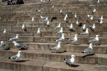A big group of seagulls is standing on the stairs by the cathedral in Helsinki and curiously watching the surroundings. Фото со стока