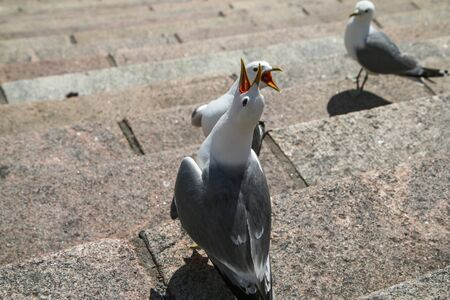 A small group of seagulls is standing on the stairs by the cathedral in Helsinki, crying and curiously watching the surroundings.